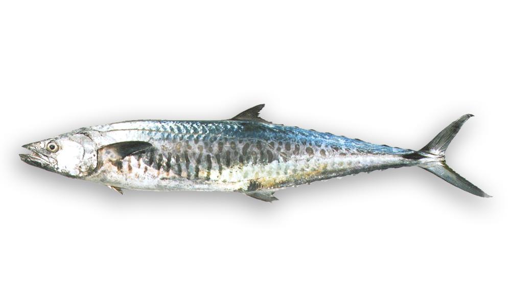 sea foods sausage house seer fish